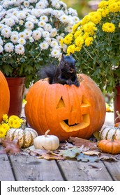 This fluffy squirrel seems to pose, as he sits inside a grinning halloween pumpkin