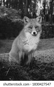 This is a Fox picture with Beautiful monochrome photos taken of the outdoors and nature