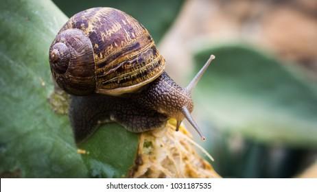 This is a garden snail feeding on a cactus.  The photo was taken in a backyard garden in Topanga Canyon California.