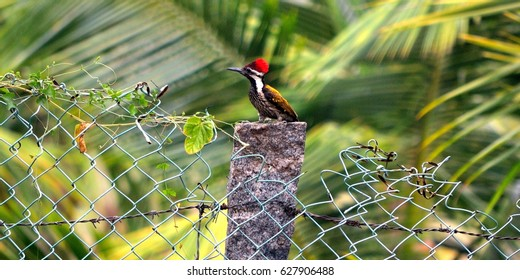 This is a greater flame-back woodpecker taken in Coimbatore, India