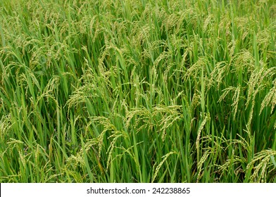 This green field is a rice. Spikelets with  grains are seen well.