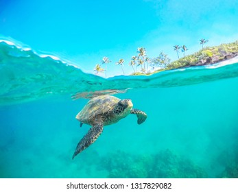 This green sea turtle is swimming in the warm waters of Maui Hawaii. This is a split shot so you can see the turtle under the water and the palm trees and sky above the water.