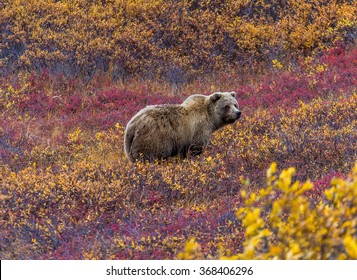 This grizzly bear in Denali National Park was feeding in a red-leaved patch of blueberries.