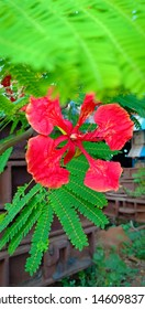 this is Gulmohar flower picture in closeup