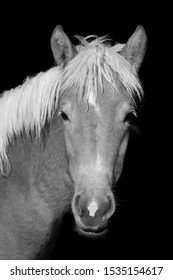 This is a haflinger stallion foal