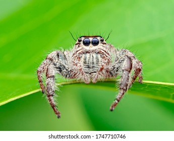 This is a hairy spider species and a part of the jumping spider family. It is large and hence is occasionally known as giant spiders.Hyllus is a genus of the spider family Salticidae (jumping spiders)