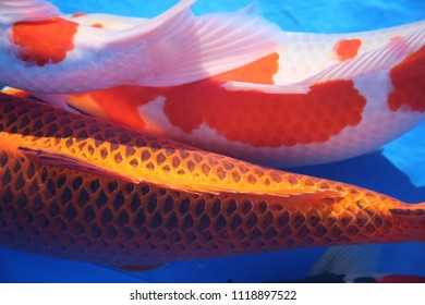 This horizontal image is a closeup of three coy fish swimming in a blue pool. The scales and tail of the fish are clearly visible.