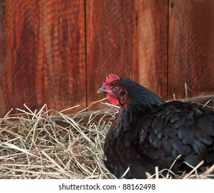 This horizontal stock image has a black colored laying hen chicken on her nest of straw, with barn boards in the background.
