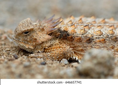 This horned lizard was photographed in southern Arizona next to a hill of fire ants.