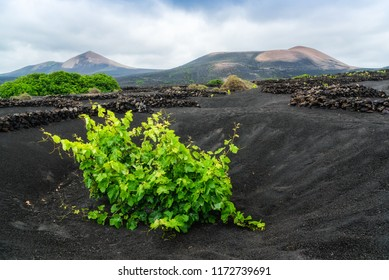 This is how they produce wine on Lanzarote, Canary islands, in the lava