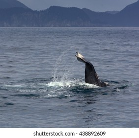 This humpback whale is nearly vertical as it diving into the ocean.