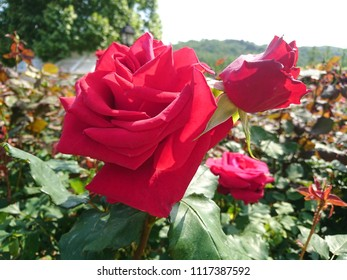 This hybrid Tea Rose is named Rosa 'Veterans' Honor' which is bred by Dr. Keith W. Zary in the United States in year 1997.