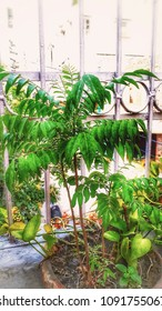 This iamge of plant growth in flowerpot. Evergreen plant with very beautiful leaf. This image capture in morning time in Delhi.