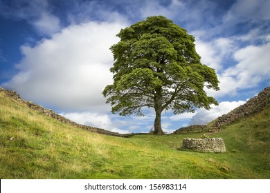 This iconic tree was used as a location in the film Robin Hood Prince of thieves, and is a notable point in the midst of Hadrians Wall.