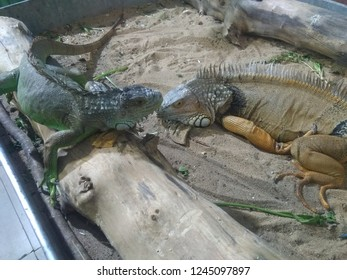 This image content the picture of two Iguana. One is green iguana and second is yellow iguana. Iguana is vegetarian and bright colour repltile.