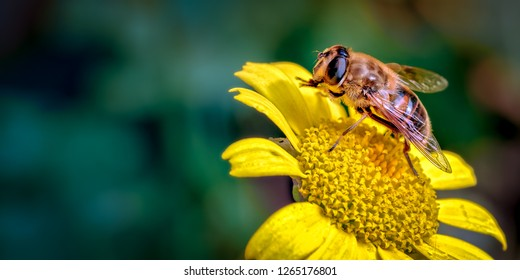 This is an image of the Drone-fly Eristalis tenax or flower fly as it is known in America. Here it is cleaning its feet (tarsi) whilst visiting one of the many compositae flowers, daisy like flowers