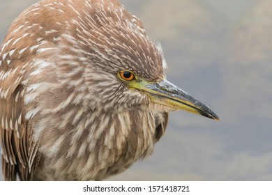 This image is of an immature black-crowned nigh heron extremely close. The head bull and shoulders predominate along with the very red eye.