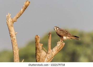 Imágenes, fotos de stock y vectores sobre Falcon Group   Shutterstock