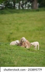 This is an image of mother and 2 baby lambs (Ovis aries) sitting on the hillside of a local farm.