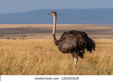 This image of Ostrich is taken at Masai Mara in Kenya.