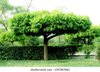 this Image is Saraca asoca .The ashoka is a rain-forest tree. Its original distribution was in the central areas of the Deccan plateau, as well as the middle section of the Western Ghats in