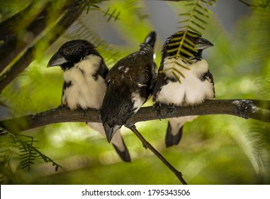 This image shows a group of wild Magpie Mannikin (Lonchura fringilloides) finch birds perched closely together on branch, surrounded by greenery.