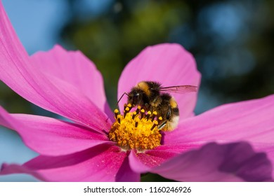 This image shows a macro from a bumblebee
