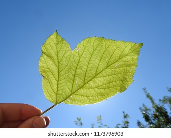 This image shows a raspberry leaf mutation. The leaf is held against the sun so you can clear see the vein structure of the leave against the blue sky. Pollution may cause such a change in nature.