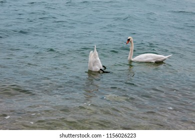 This image shows two white swans
