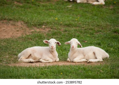 This is an image of two young lambs (Ovis aries) resting on the ground after playing hard on the farm. One has it's mouth open as if it were talking.
