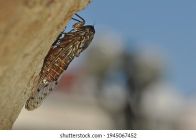This insect is a singing cicada.These arthropods lives in trees.Cicada nymphs drink sap from the xylem of various species of trees.The male cicadas are singing.The male abdomenacts as a sound box. - Shutterstock ID 1945067452