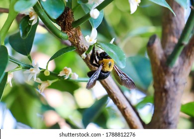 This is a Japanese carpenter bee