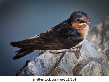 This is a juvenile Barn Swallow. These birds are relative newcomers to Australia and have spread around the world on the back of modern human civilisation.