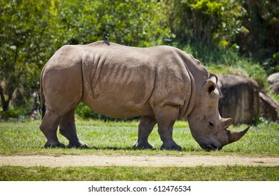 This is a Juvenile Southern White Rhinoceros. The wild population is about 20,000, unlike the Northern White Rhinoceros is down to just 3.