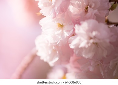 This is a kinds  of the CherryBlossom in Japan.