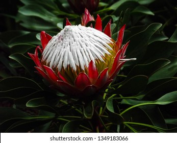 This is KING PROTEA, a flowering plant. Also known as GIANT PROTEA, HONEYPOT or KING SUGARBUSH.  It is THE NATIONAL FLOWER of SOUTH AFRICA. Found in southern parts of SOUTH AFRICA.