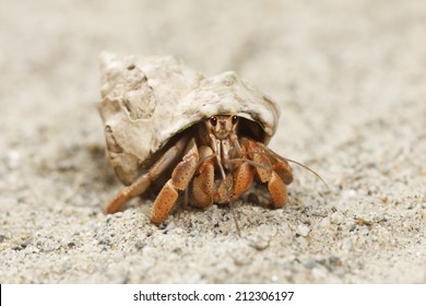 This is a land hermit crab. They are commonly kept as pets.