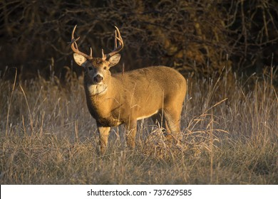 This large Whitetail Buck had been spending some time in the grass field along a tree line in Kansas. Late Autumn and early Winter is the rut season for deer in this region.
