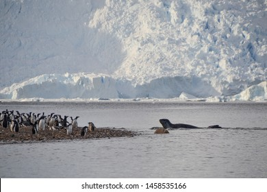 This leopard seal is trying to eat one of these gentoo penguins as they run away from shoreline in Antarctica.