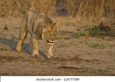 This lion was scenting a herd of Buffalo