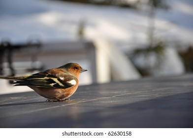 This little chaffinch was recovering on a cabin table in Strandvik, Sweden. Half an hour earlier it had hit a window and was a bit dizzy.