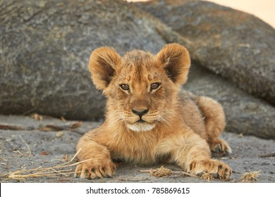 This little lion cub was lying with his female family.