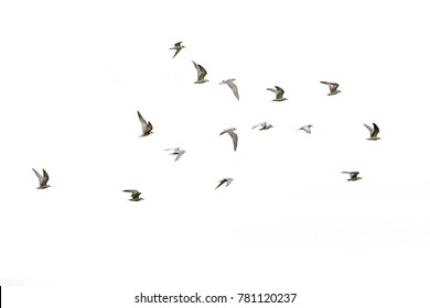 This is a little tern and sky.