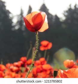 This luminescent poppy detaches alone and singular in the middle of the field of other poppies in background with some tree silhouettes, the transparency of its petals is accentuated by the light.