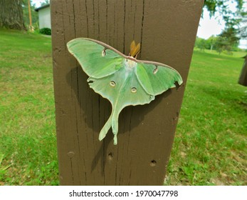 This is a Luna Moth