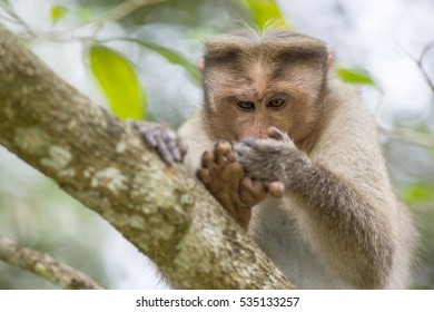this macaque monkey looks in a funny way at his hand in the same method as humans watch on a cellphone while reading a message. It's called chimping.
