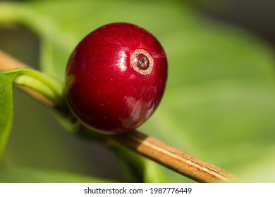 This macro image shows a ripe coffee cherry with a red color gleaming in bright light. It is still on the twig of the coffee tree on which it has grown. The green color of a leaf fills the background.