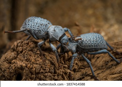 This macro image shows two cute blue Asbolus verrucosus (desert ironclad beetles or blue death feigning beetles) beetles interacting and communicating with one another.