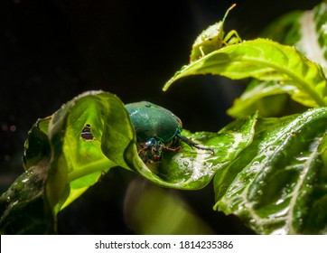 This macro nature image shows a shield bug (Pentatomoidea) and fig eater beetle (Cotinis mutabilis) hiding in the leafs of a large plant.