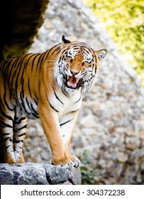 This Malayan Tiger peers through the branches as it stalks another tiger in a local zoo exhibit. The attention is paid to his dangerous teeth.